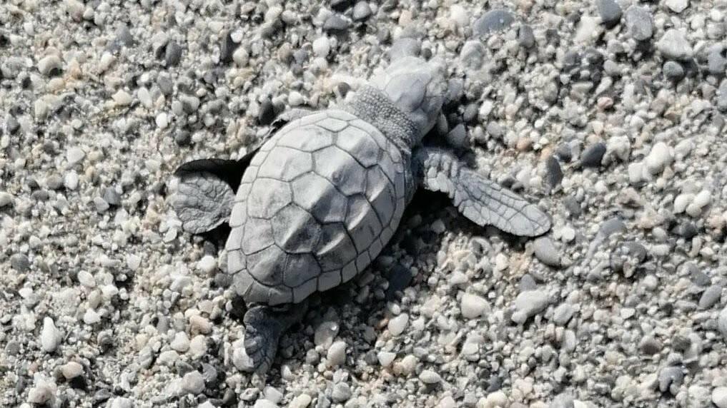 Tartaruga caretta caretta