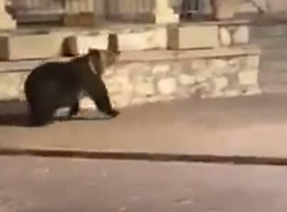 Un orso a spasso in centro città: la passeggiata notturna dell'esemplare di marsicano