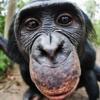 il bonobo